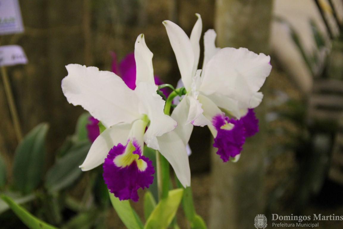 Cattleya Warneri semi-alba